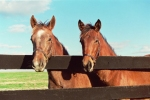 yearlings_lg